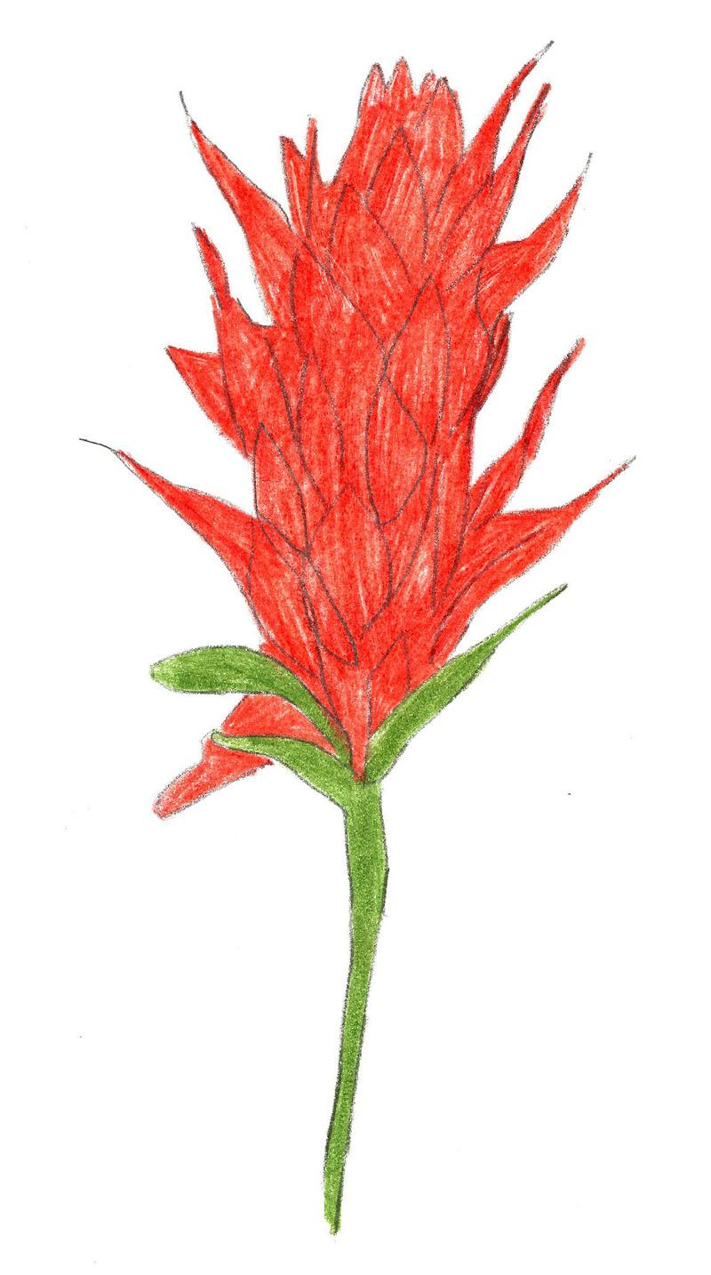 Draw an Indian Paintbrush Indian paintbrush, Flower
