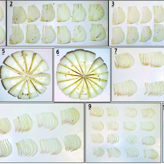 Photo of (PDF) Vegetative Propagation of Amaryllis (Hippeastrum × johnsonii ) by Differe…
