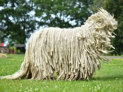Komondor At First Glance Komondors Look Like Some Technological