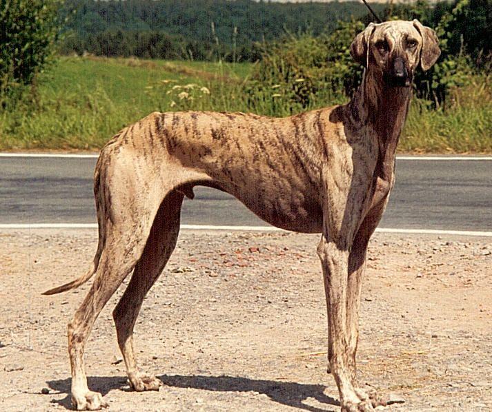 Der Sloughi Shubah Al Warda Sloughi Zucht In Osterreich Windhund Hunderassen Hunde