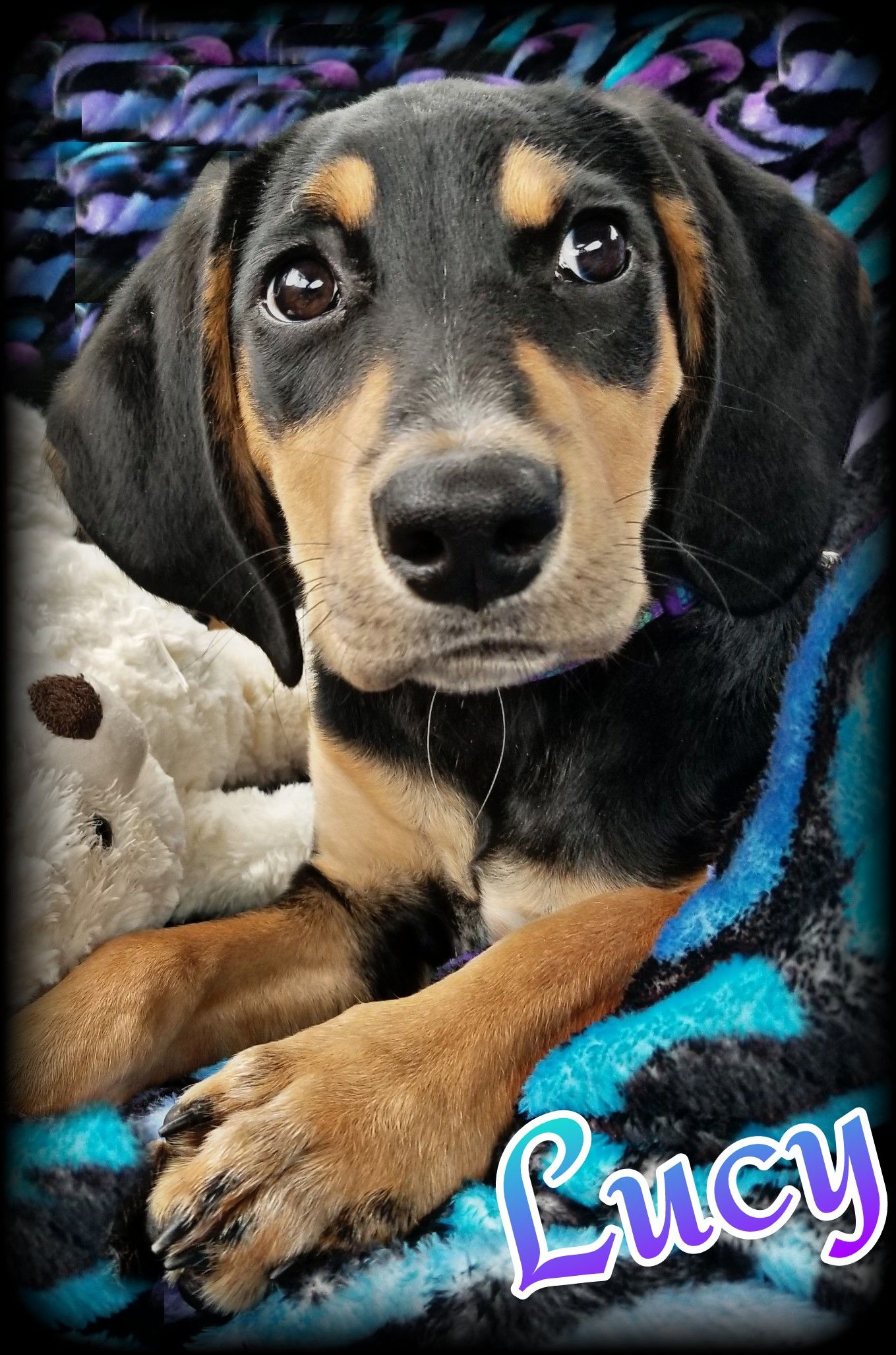 Black and Tan Coonhound dog for Adoption in Chicago, IL