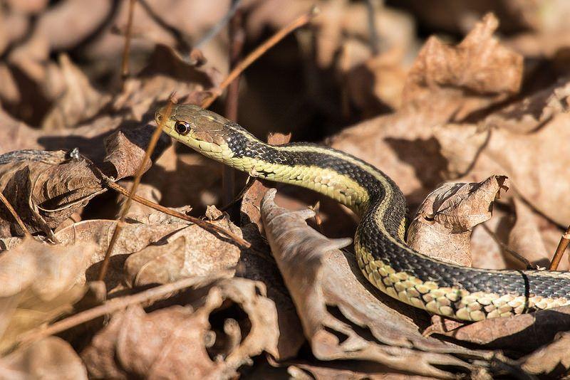 Garter Snake Snake Garter Mud