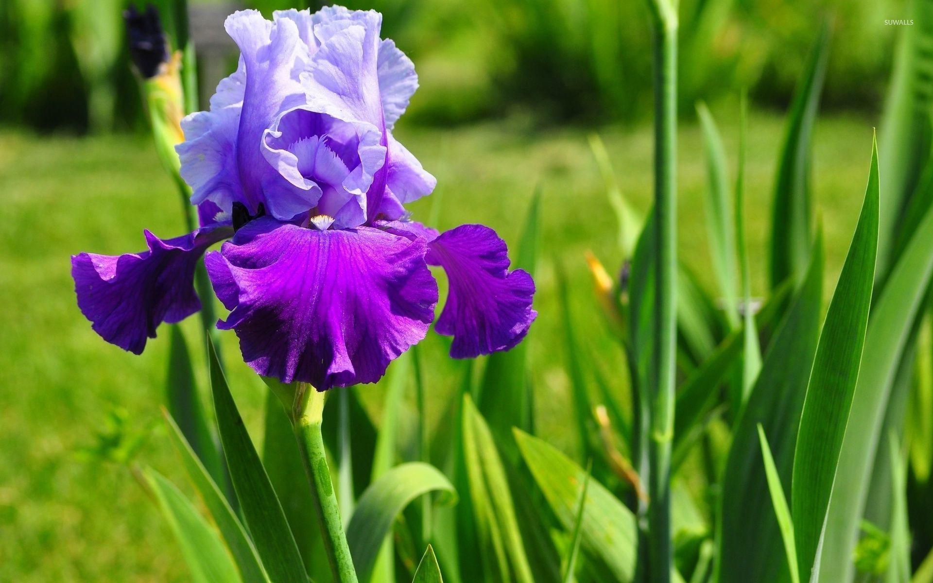 The Most Beautiful Iris Flowers Yahoo Image Search Results Iris Flowers Iris Flowers