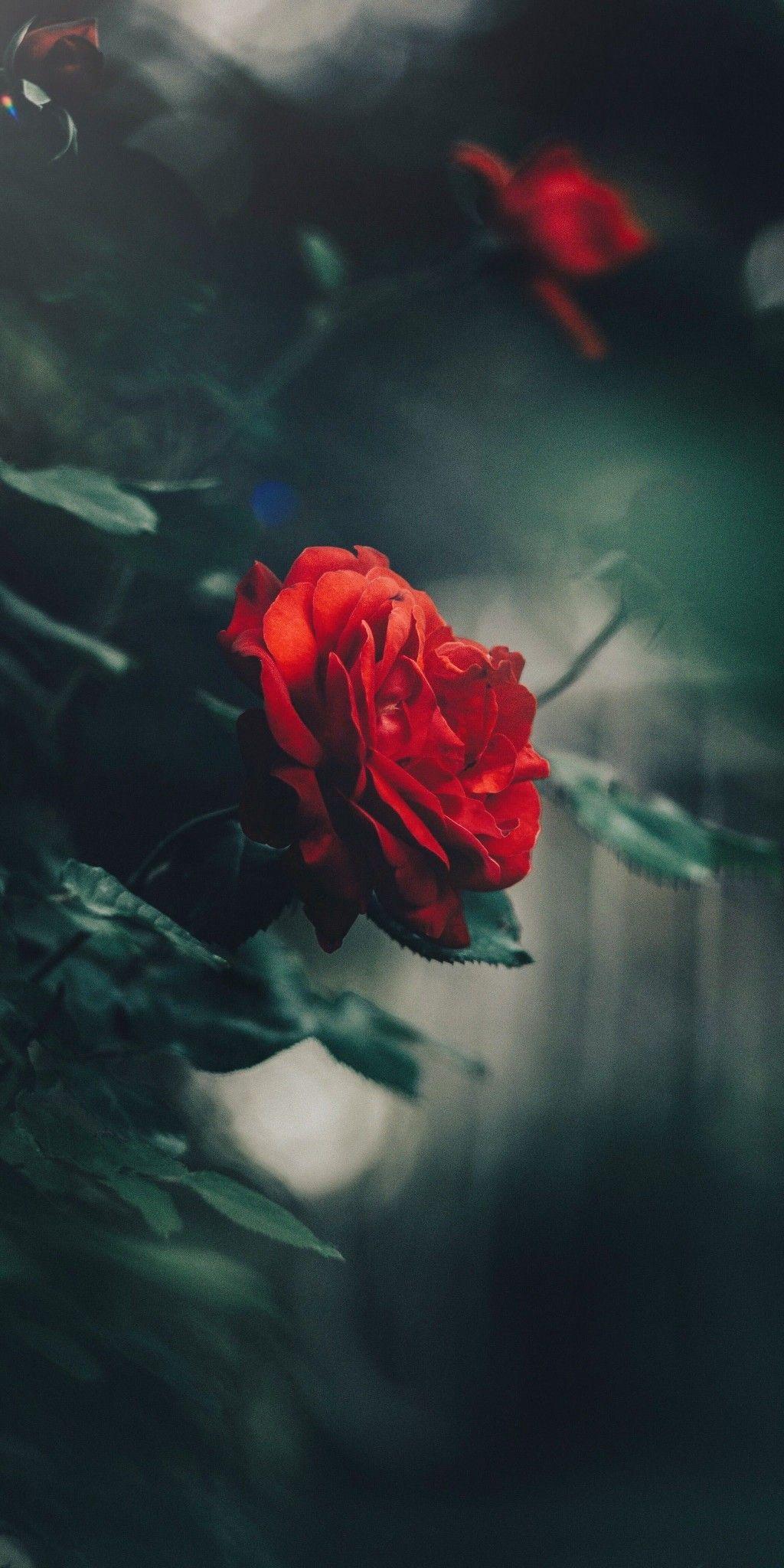 Love Rose Flower Images Free Download ...