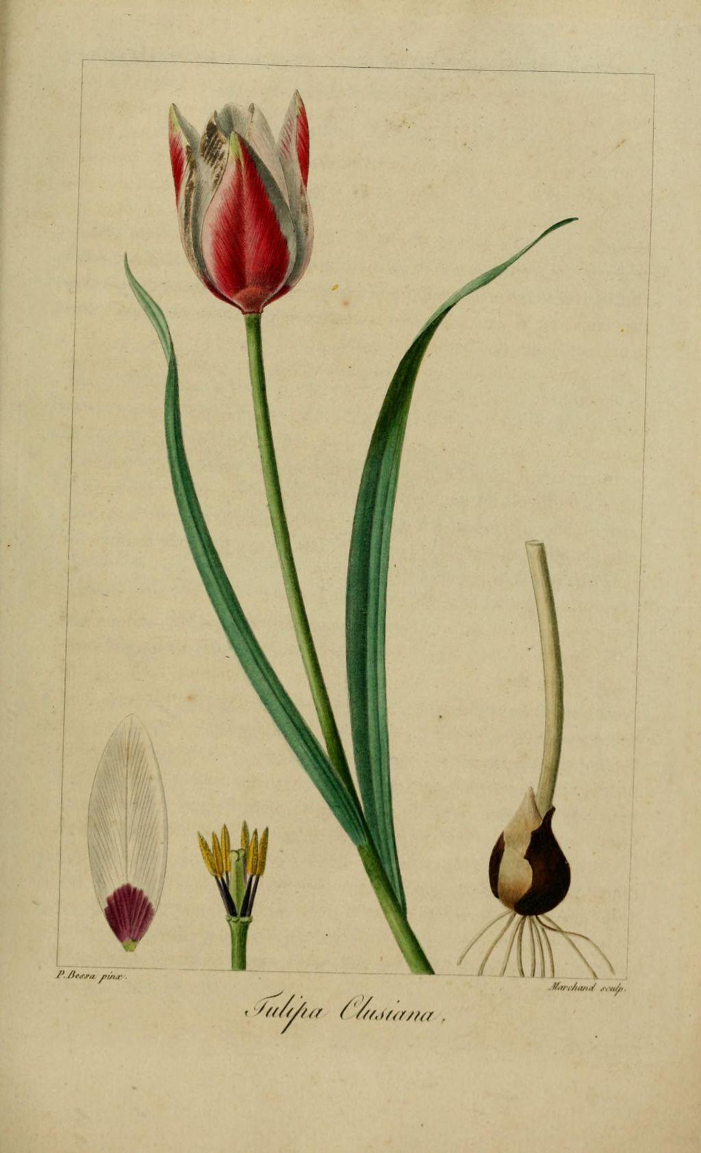 tulipe de l'ecluse