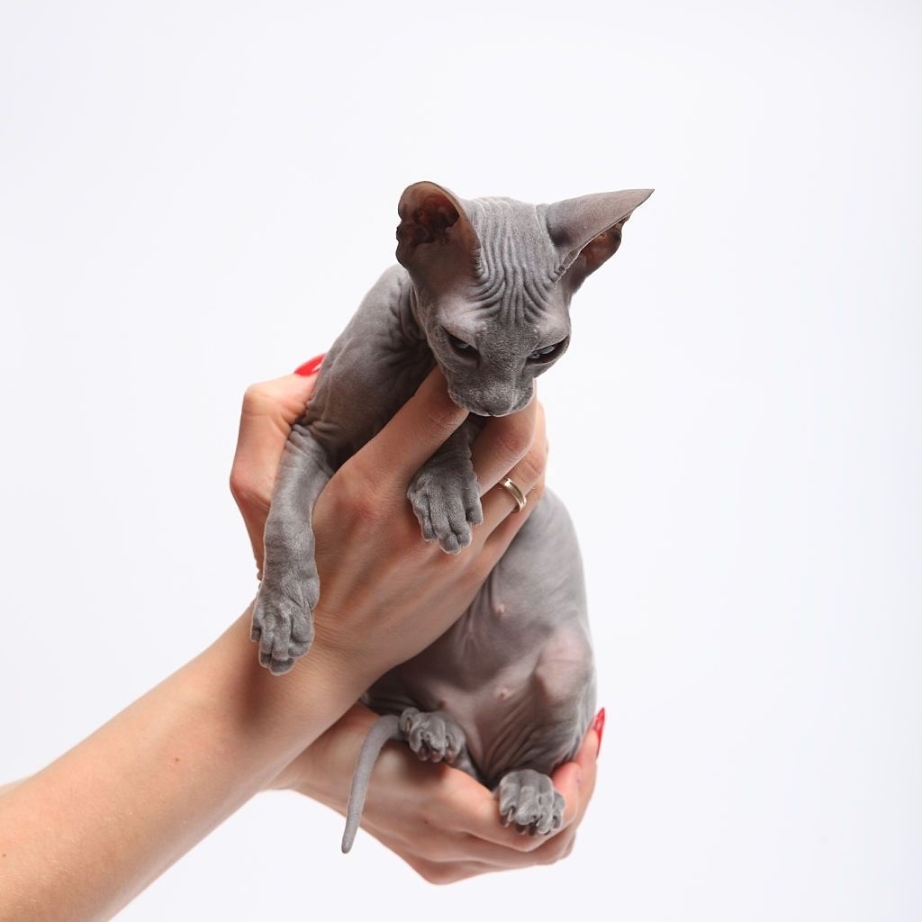 Sphynx Kitten North Carolina In 2020 Sphynx Kittens For Sale Sphynx Cat Cats