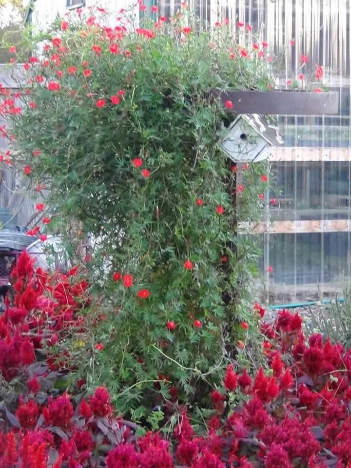 Cardinal Climber Vine Picket Fence Greenhouse Gardens Garden Vines Greenhouse Gardening Flowering Vines