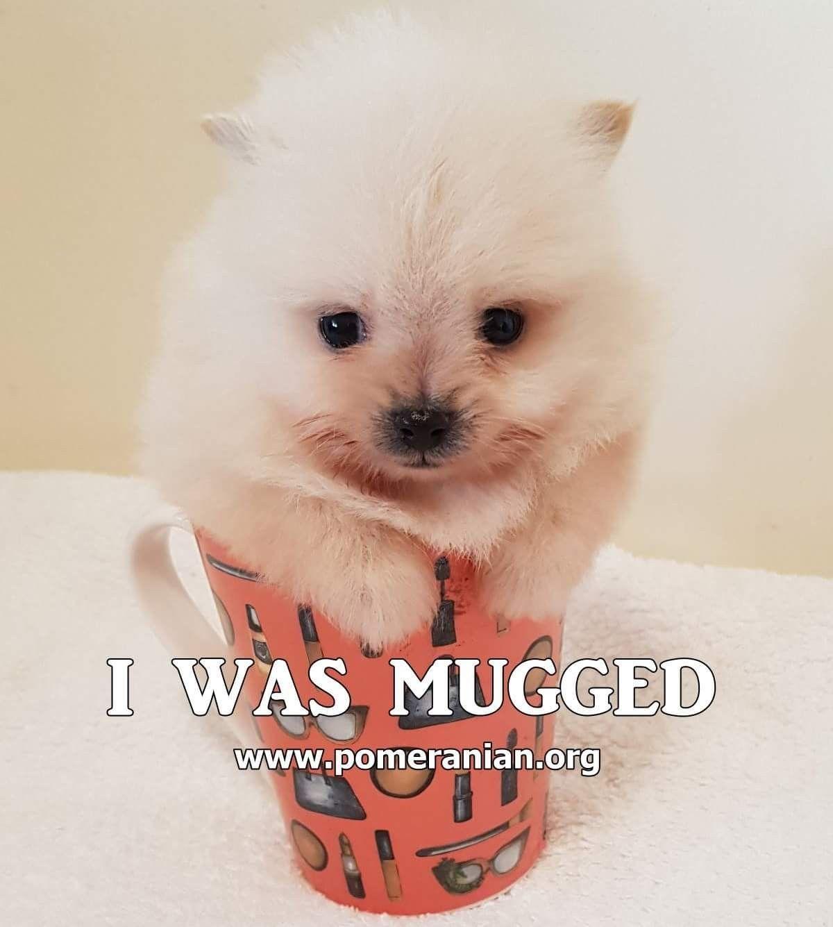 Pin By Rachel Niec Hernandez On Pomeranian Memes Cute Pomeranian Toy Dog Breeds Pomeranian Memes