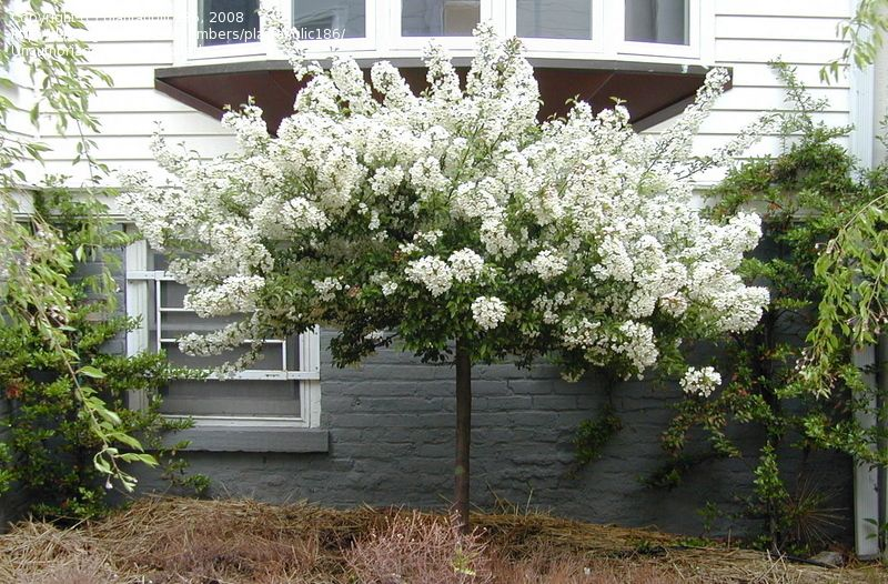 Pin By Inspired Earth Design On Ornamental Trees Front Yard Plants Crabapple Tree Flowering Crabapple