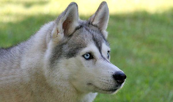 huskies dog breed face