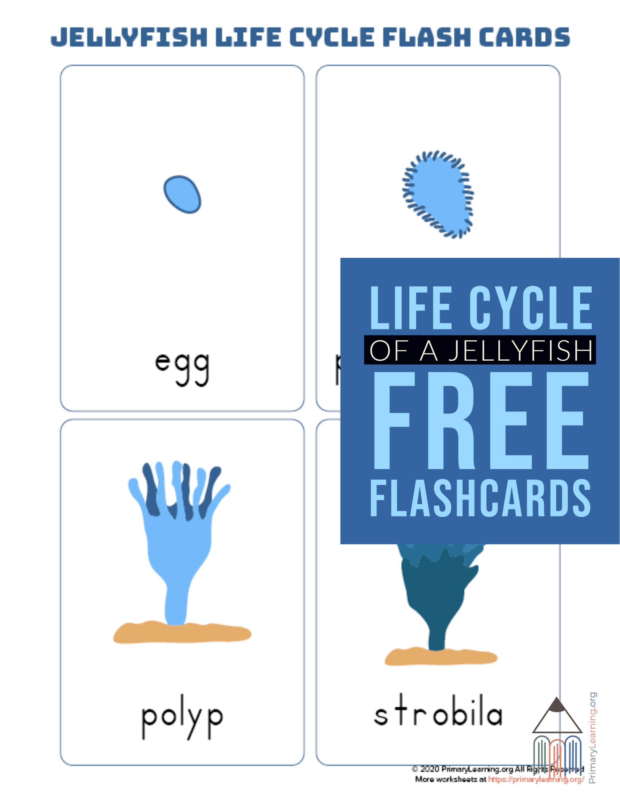 Jellyfish Life Cycle Flashcards