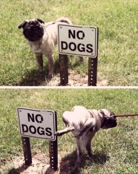 35 Most Adorable Moments In Pug History Funny Pug Pictures Cute
