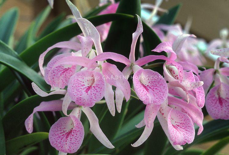 Brassanthe Brassocattleya Maikai Invincible Plant Flower
