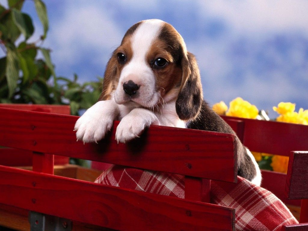 Pin by navybluecats on dogs in wagons pinterest beagle dog