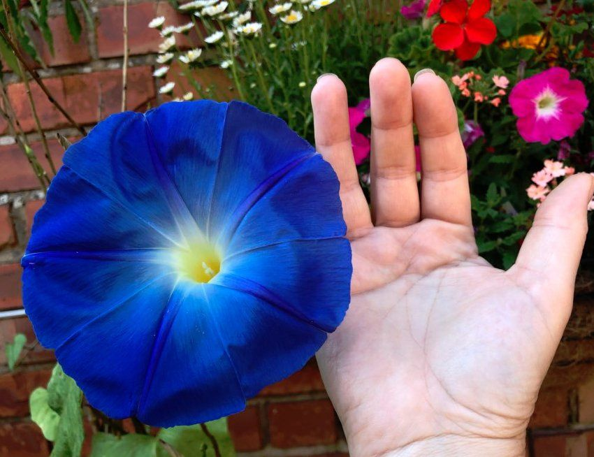 Giant Japanese Morning Glory Blue Ocean Akatsuki No Umi Morning Glory Flowers Rare Flowers Flower Seeds