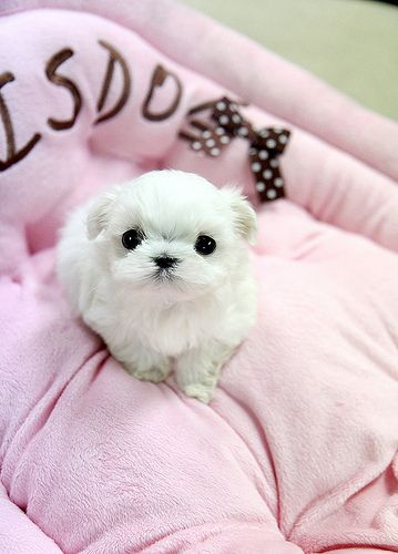 Adorable Teacup Maltese Puppy Puppies Cute Animals Cute Dogs