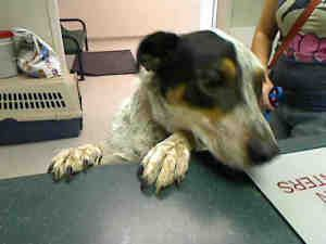 EMMETT is an adoptable Australian Cattle Dog (Blue Heeler) Dog in Murray, UT.  ...