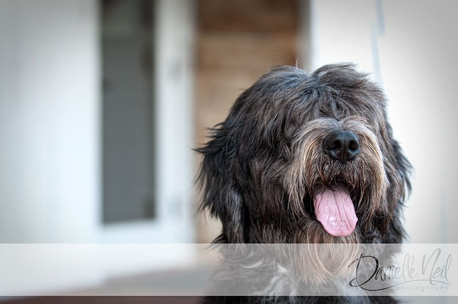 Gogi Bear The Sheepdog Retriever Mix Westerville Dog Photographer