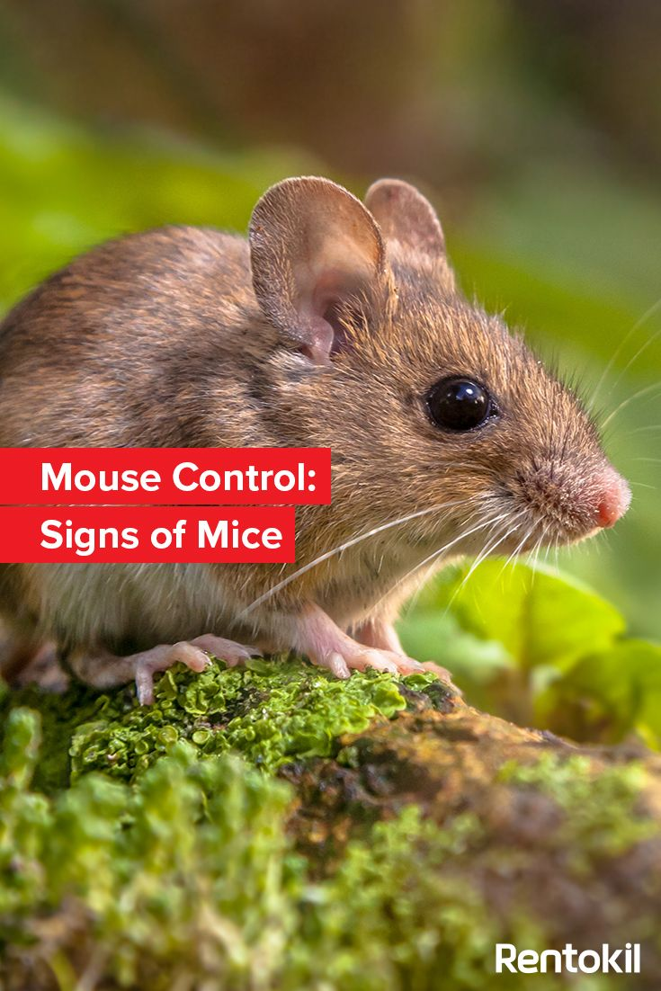 Find Out About The Common Signs That Might Indicate You Have A Mouse Problem In Your Home Or Business Mice