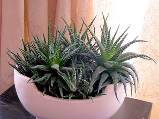 non toxique haworthia fasciata plantes vs chats pinterest plantes plante interieur et. Black Bedroom Furniture Sets. Home Design Ideas