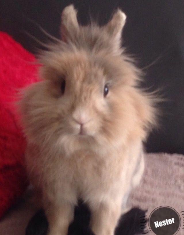 Clapier Lapinet Doucet Rabbitry - Tête De Lion, Lapin Nain
