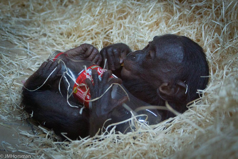 Baby bonobo | Flickr - Photo Sharing!