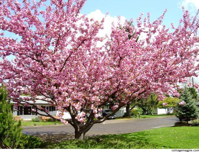 Gardening Simple Creative Home Flowering Cherry Tree Ornamental Cherry Cherry Blossom Tree