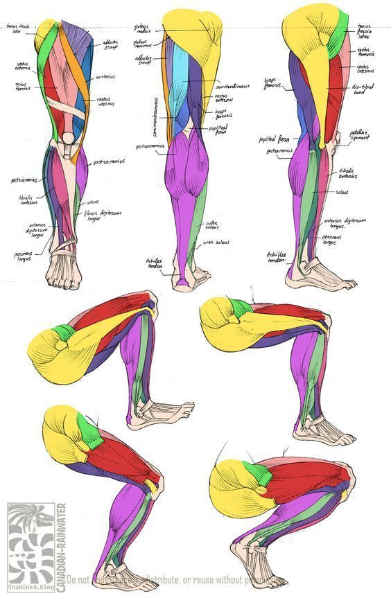 Leg Muscles divided by color to help you guys understand more about ...