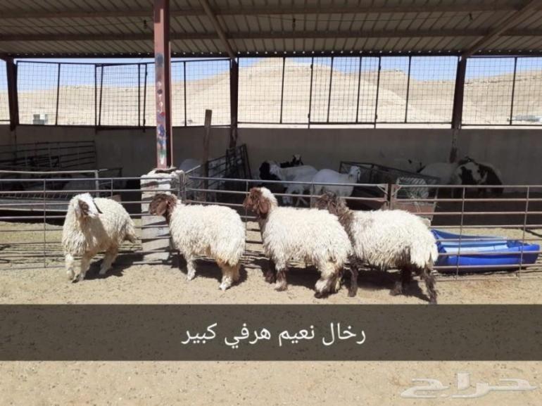 ذبايح الرياض من مؤسسه الموارد ذبايح للبيع بالرياض ذبايح في الرياض ذبايح الموارد بالرياض ذبايح الرياض ذبايح للبيع في الرياض Animals Goats Llama