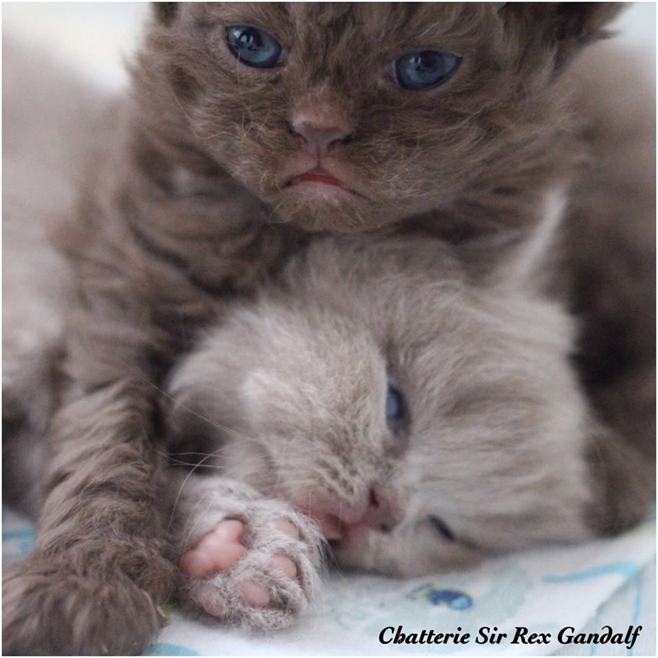 Chatons Selkirk Rex Chat Mouton Chocolat Et Lilac Selkirk Rex Le Chat Selkirk