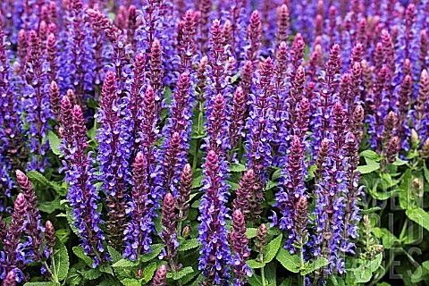 Salvia  nemorosa 'Sensation Blue' | Lambley Nursery