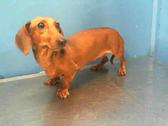 Kate Id A1146049 My Name Is Kate I Am A Female Brown Dachshund The Shelter Staff Think I Am About 2 Animal Shelter Adoption Dog Sounds Brown Dachshund