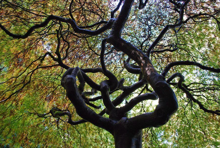 Kubota Garden Japanese maple tree, South seattle, Garden