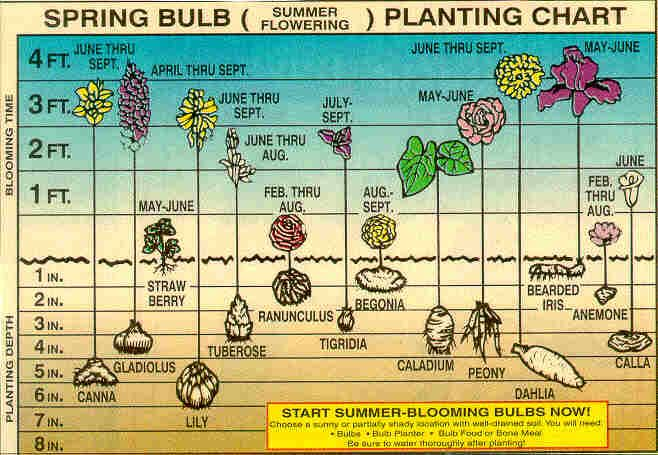 Chart Showing The Proper Planting Depth And Blooming Time Of Different Bulbs Planting Bulbs Summer Bulbs Seasonal Flowers