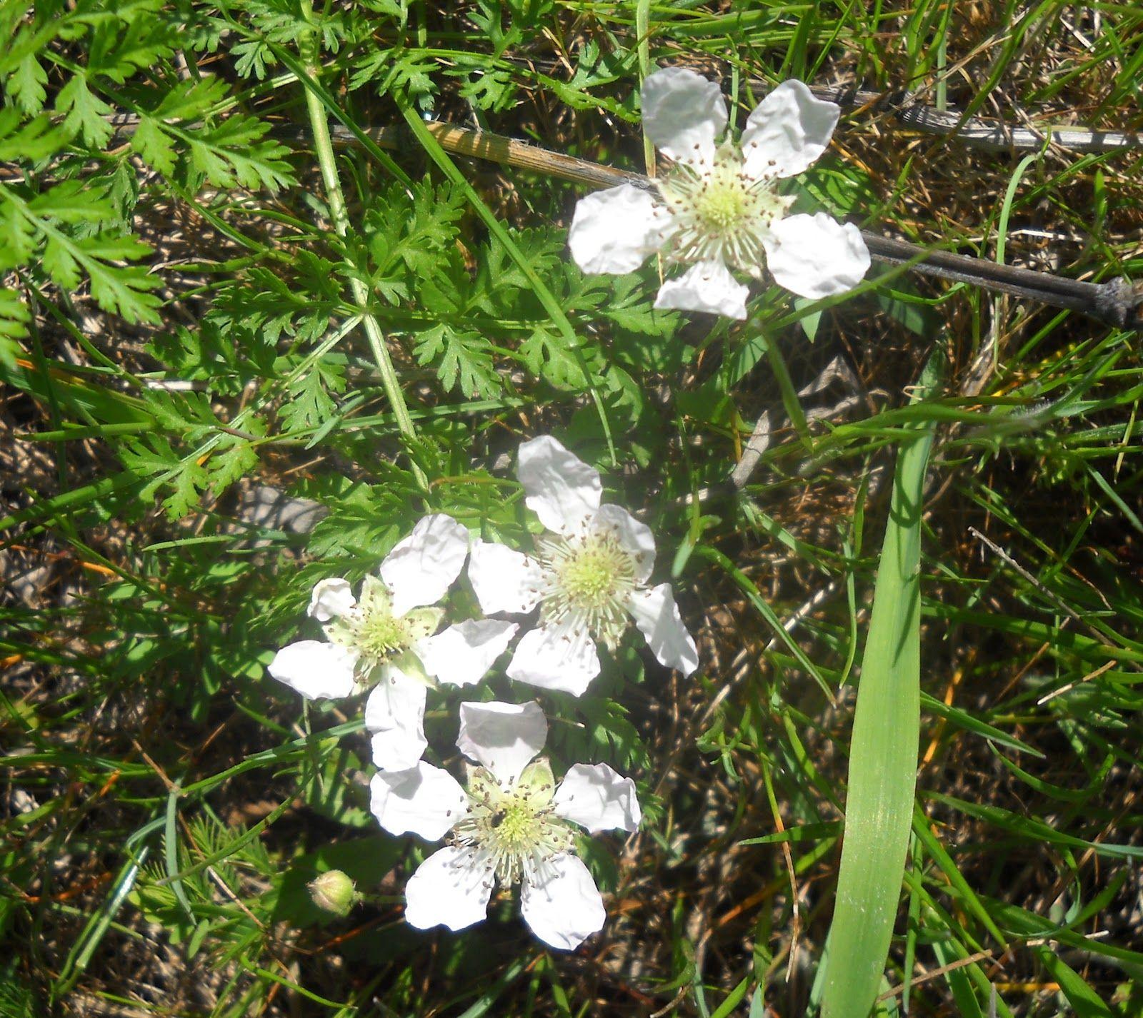 Dewberry Flowers White Rock Lake Dallas Texas Wildflowers Start
