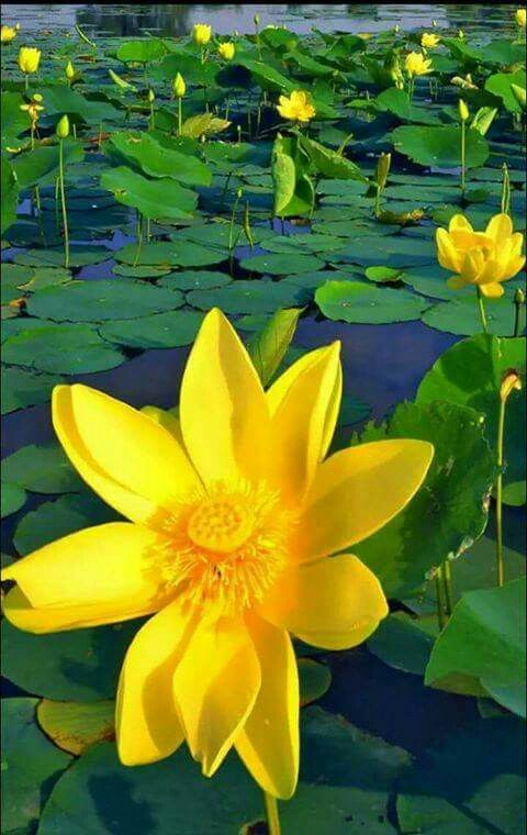 pinterest lotus flowers and water lilies learn all about different types of flowers from roses and lilies to spring and wedding flowers with stunning photos and planting information mightylinksfo