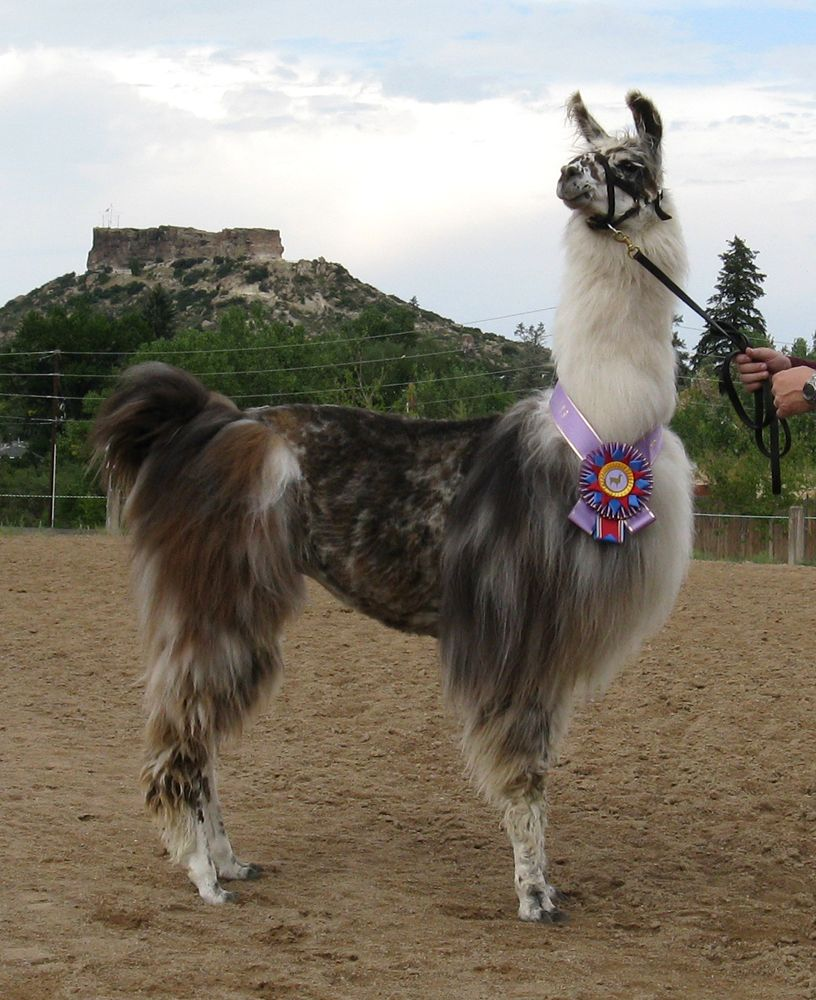 Midnight Hour S Kemui Yama Multiple Grand Champion With Images