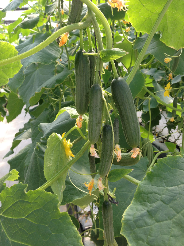 """Picture of Live Cucumber Persian JB Vegetables Plant Fit 4"""" Pot"""