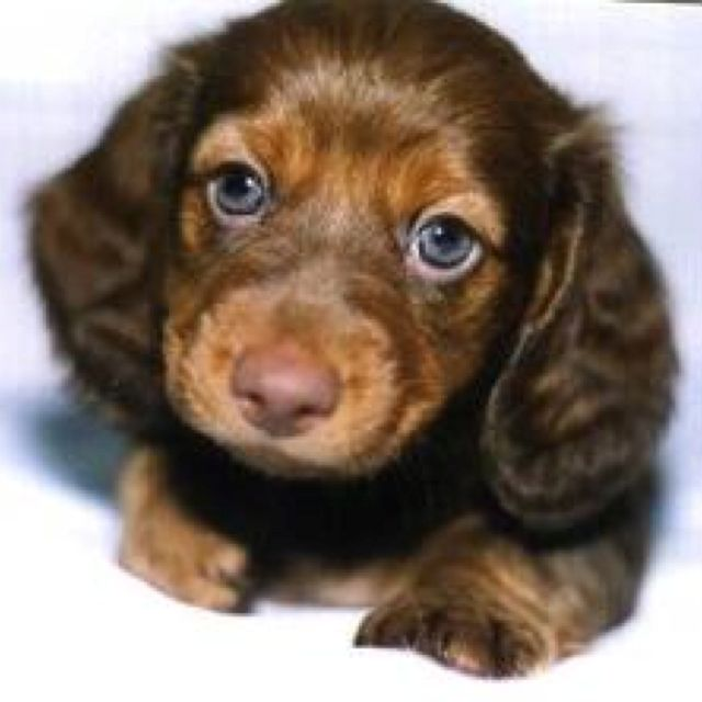 Want This Lil Chocolate Kiss Long Haired Dachshund Baby