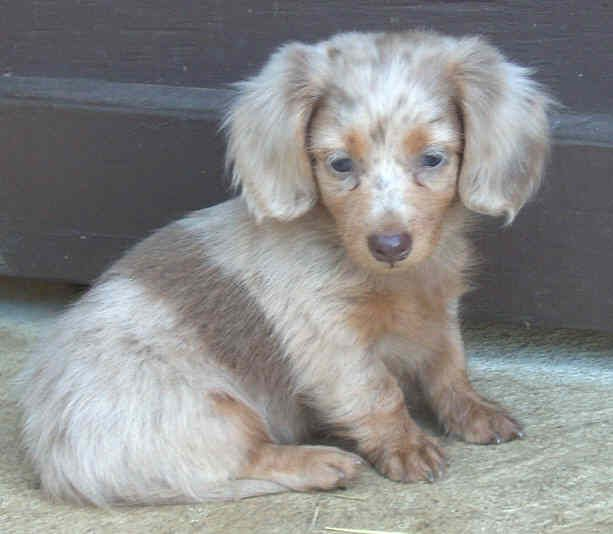 Silver Dapple Wirehaired Dachshund Sooo Cute Dapple Dachshund