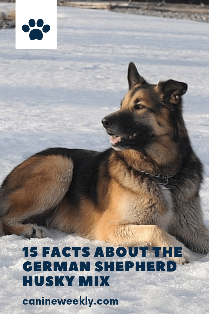 This Guide Will Help You Learn More About Shepherd Husky Mixes How To Figure It Out Whether Or Not A German Shepherd Husky German Shepherd Husky Mix Husky Mix