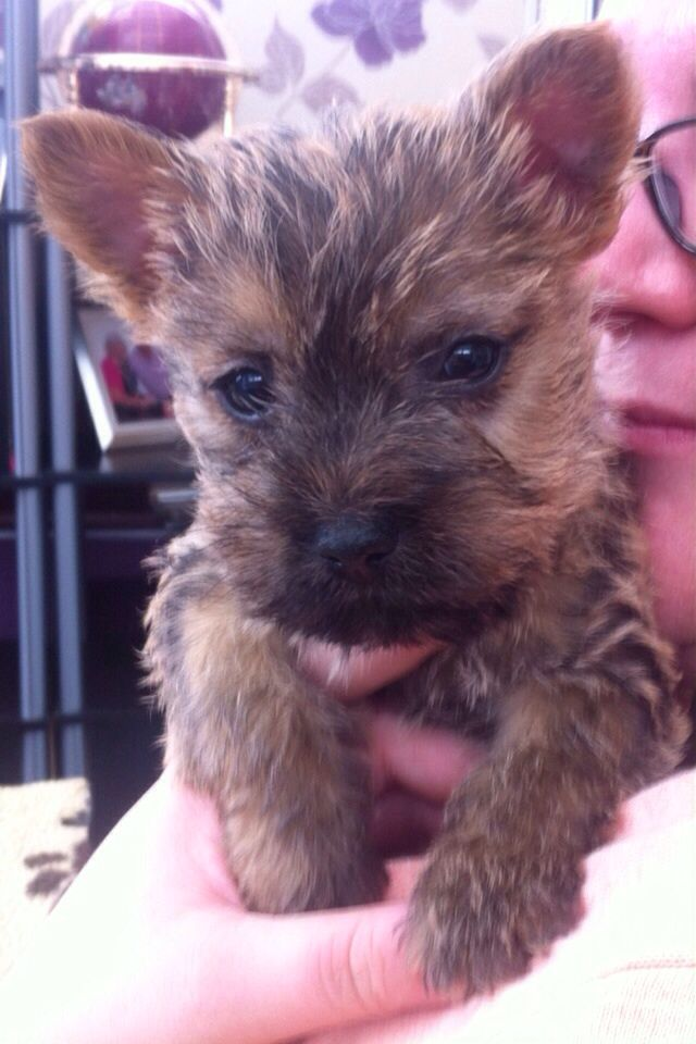This Is Our Little Doug X Cairn Terrier Puppies Carin Terrier