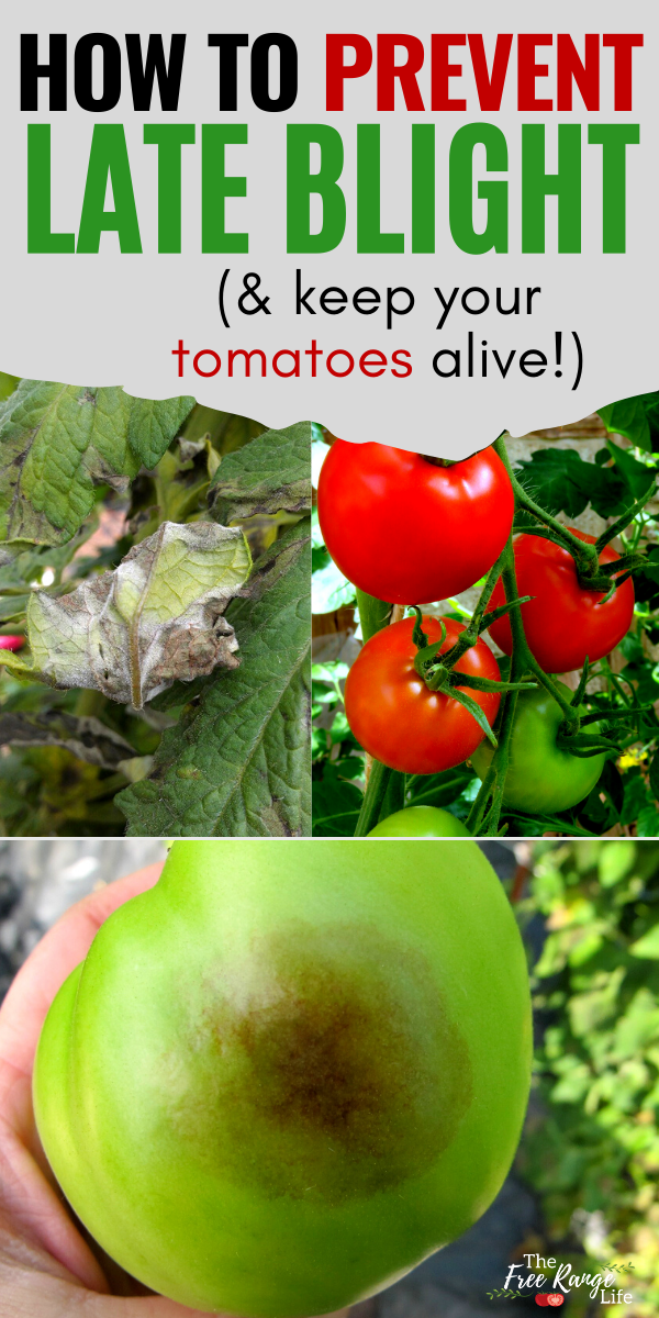 58e9e0c97da0d44202be4a9488acb0a9 - How To Get Rid Of Late Blight On Tomatoes