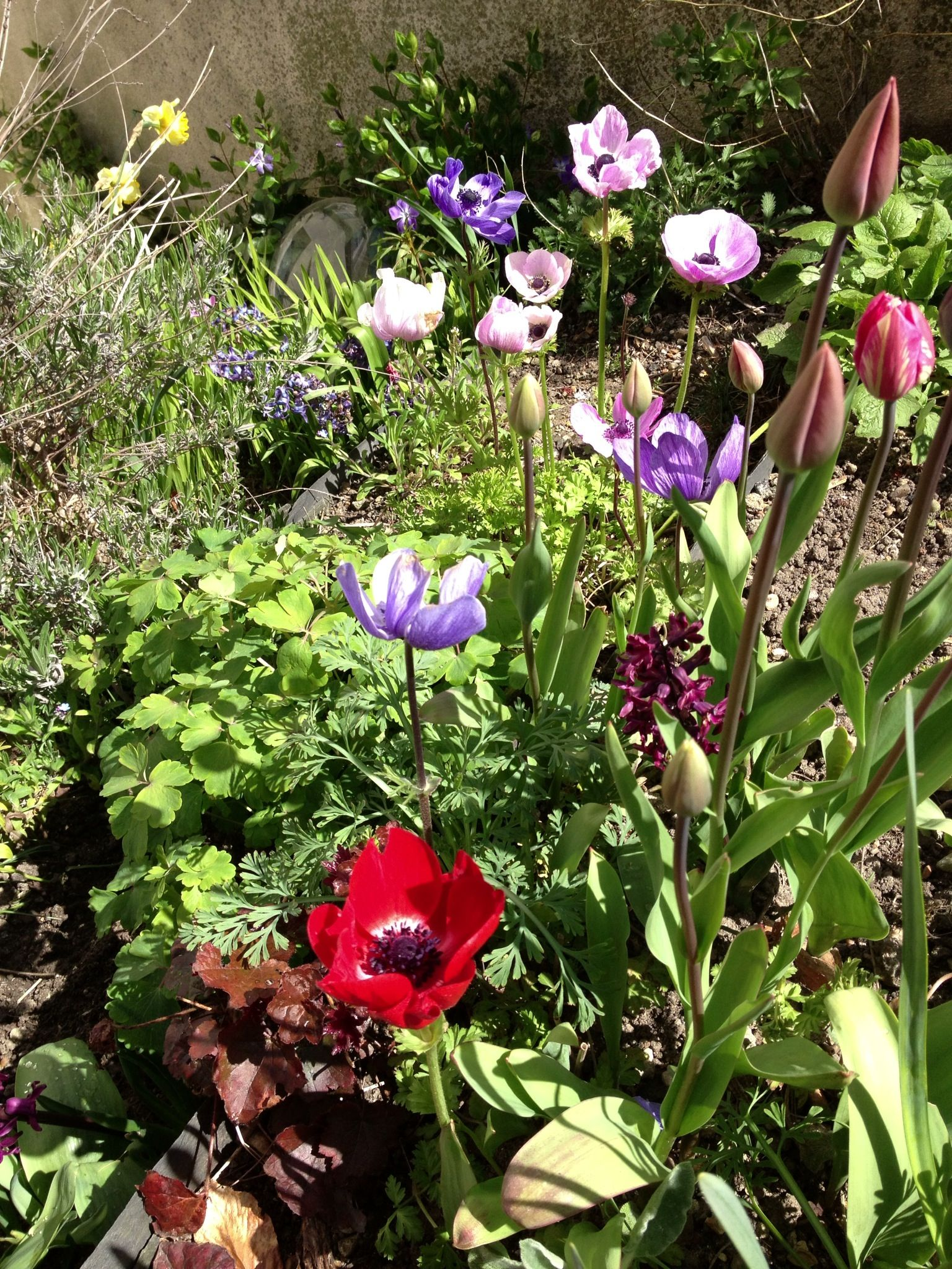 Tulips are nearly here.