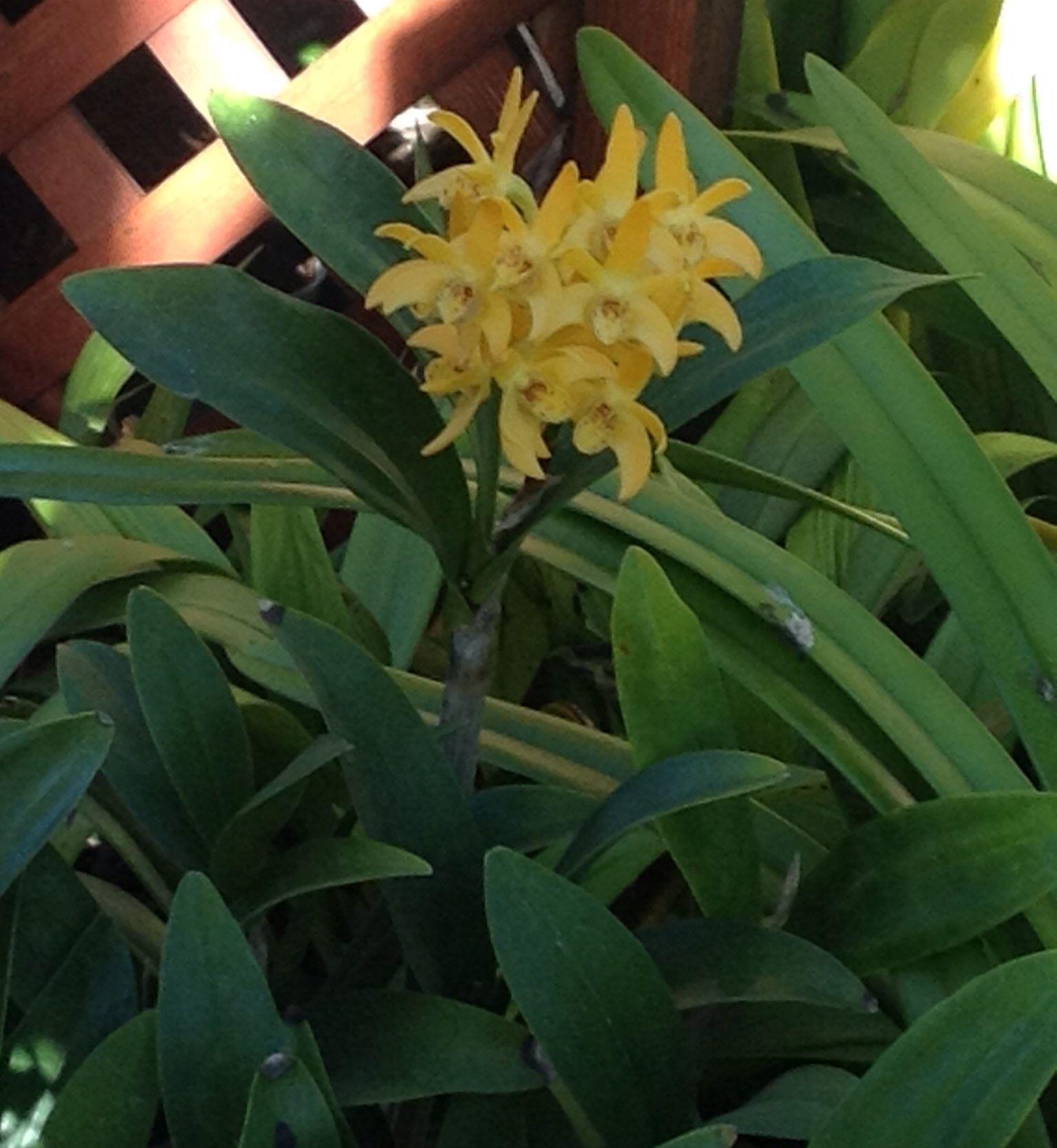 Dendrobium gilliestone australian orchid hybrid fabulous color