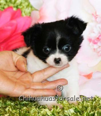 Finley 7 Weeks Old Cute Chihuahua Chihuahua For Sale