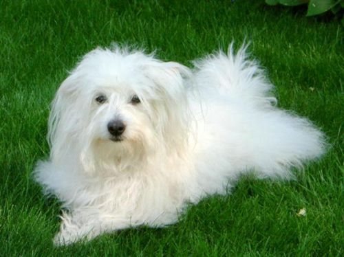 Small White Dog Breeds Long Hair Coton De Tulear Dogs Coton De