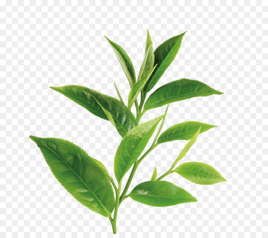 Tea Leaves Seamless Pattern Royalty Free Abstract Stock Vector Leaves Sketch Tea Leaves Illustration Tea Leaves Tattoo
