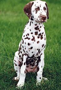 I Miss My Liver Spotted Dalmatian Australian Dog Breeds Pet Dogs Puppies Dalmatian