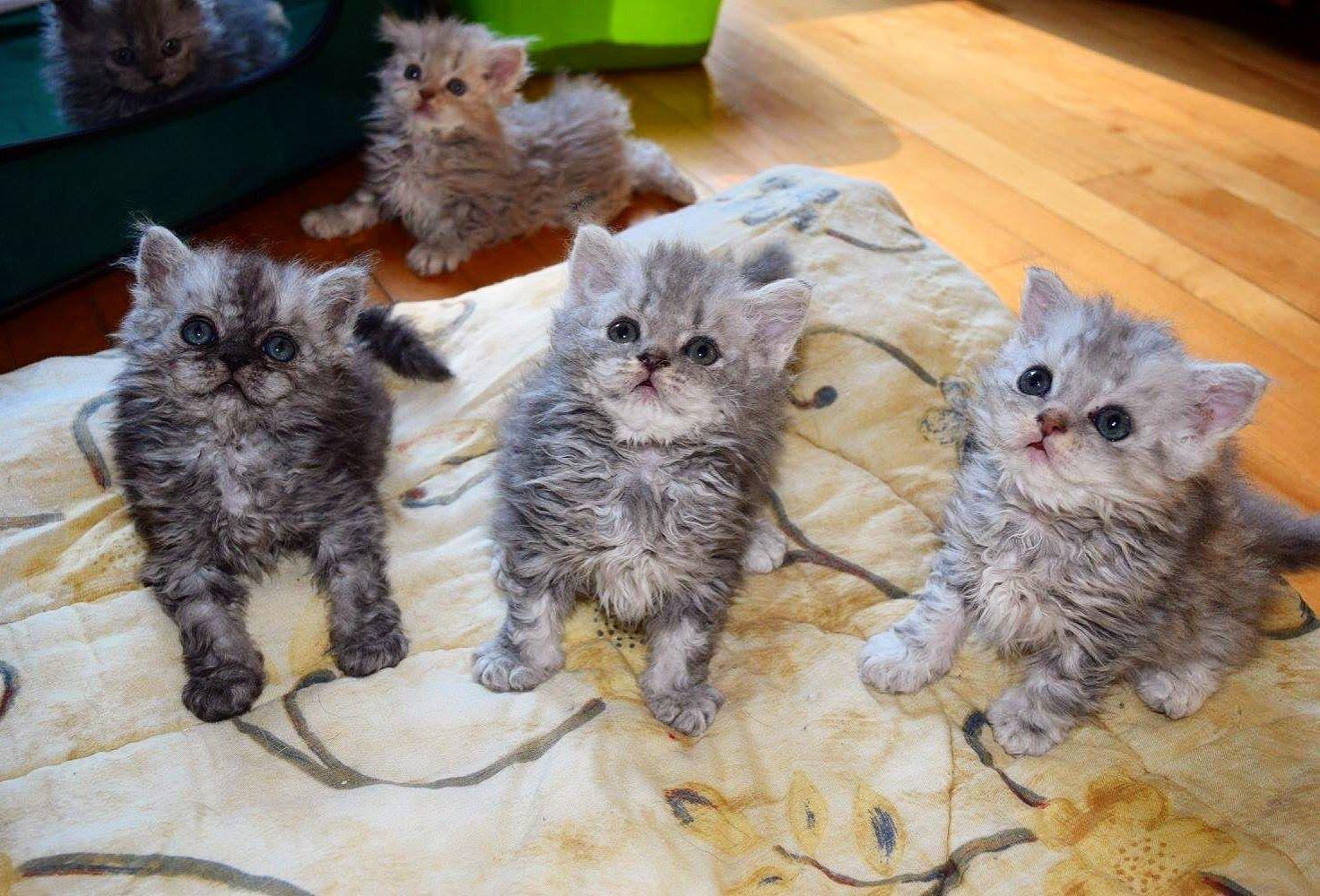 Chatons Selkirk Rex Kittens Chat Mouton Sheep Cat Selkirk Rex